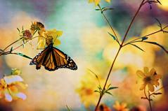 [フリー画像素材] 動物 2, 昆虫, 蝶・チョウ ID:201207110400