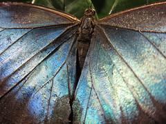 20120630 blue morpho (detail)