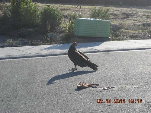 1turkey vulture judy edlund concord