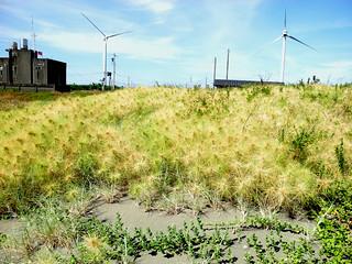 香山溼地沙灘上的強勢植物之一,濱刺麥。