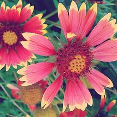 gaillardia, annual plant, flower, plant, gerbera, macro photography, flora, floristry, petal,