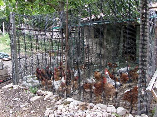 churchyard farm chickens