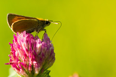 Small Skipper (Thymelicus sylvestris) on Trifolium pratense