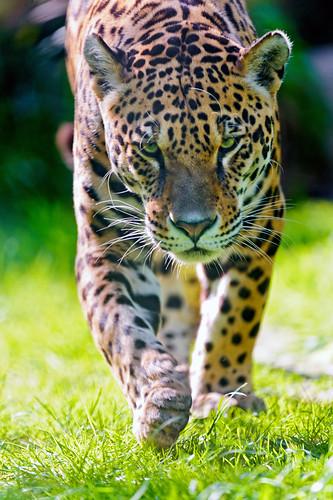 無料写真素材, 動物 , 哺乳類, ジャガー