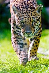 [フリー画像素材] 動物 1, 哺乳類, ジャガー ID:201208051000