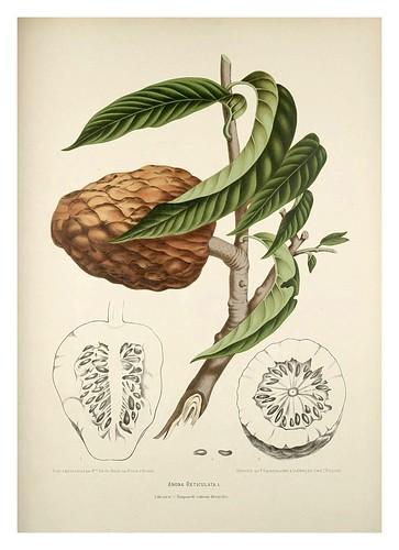 012-Anona roja parecida a la chirimoya-Fleurs, fruits et feuillages choisis de l'ille de Java-1880- Berthe Hoola van Nooten