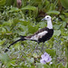 Pheasant-tailed Jacana (Colin Brown)