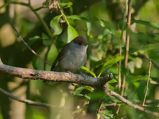 Female Blackcap among willow