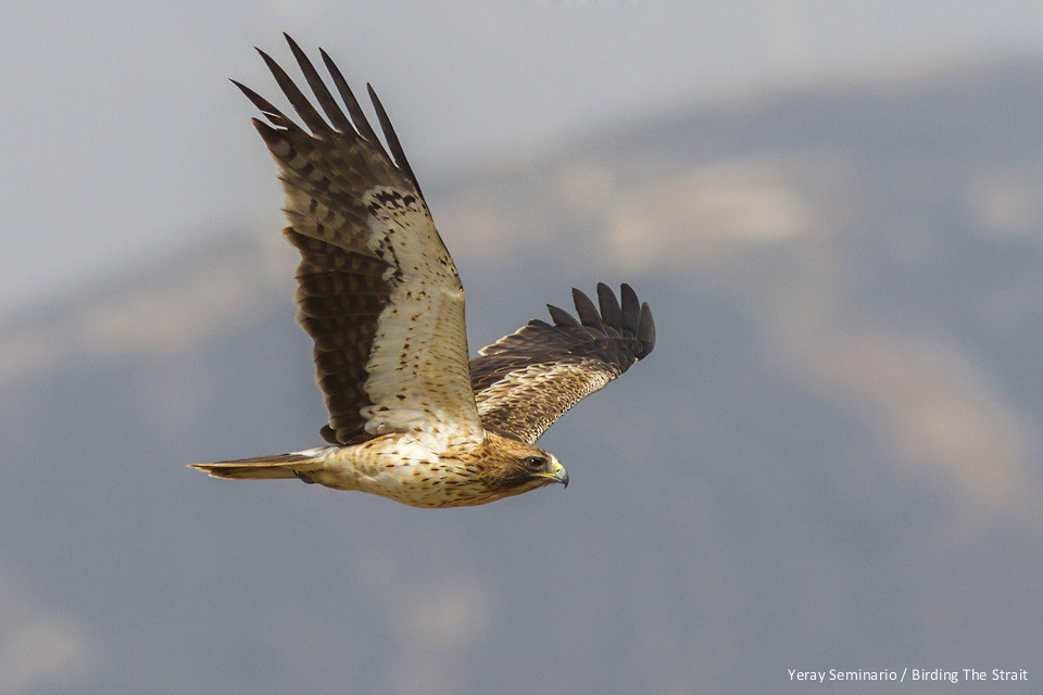 Booted Eagles are excellent subjects to learn Birds in flight photography - by Yeray Seminario