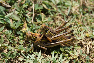 Insect mating 昆蟲