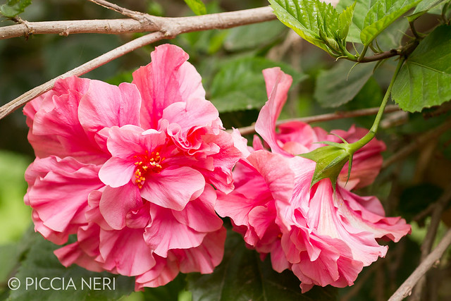 A type of woody hibiscus bush with large, beautiful pink flowers with many petals._-4.jpg