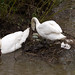 Swans trying to save their flooded nest