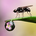 Tread carefully - signal fly with dewdrop refraction