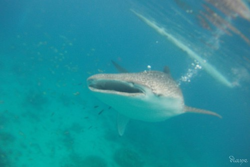 Whaleshark Watching in Tan-awan, Oslob, Cebu