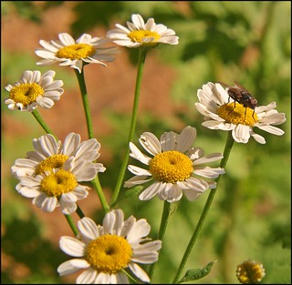 Our Daily Challenge Starts With W: Weed Feverfew
