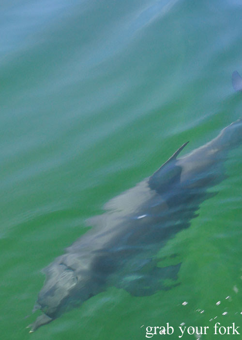 Wild dolphin in Boston Bay