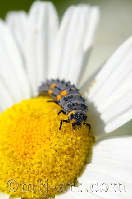 Flickr Explore - Leppäkertun toukka