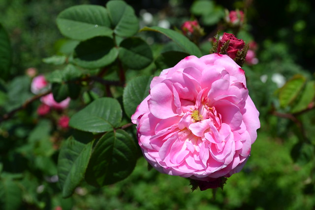 Rosa 'James Mitchell';  introduced in 1861. Photo by Jean-Marc Grambert.