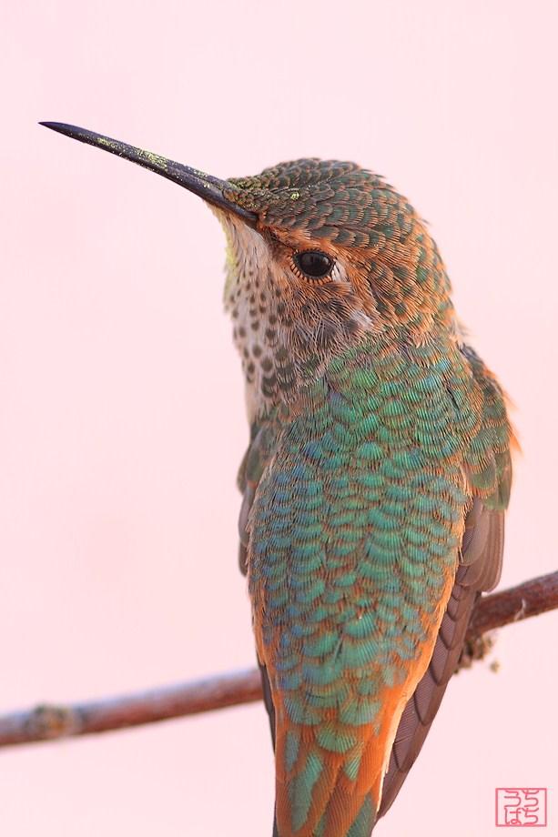 immature Allen's Hummingbird 052512