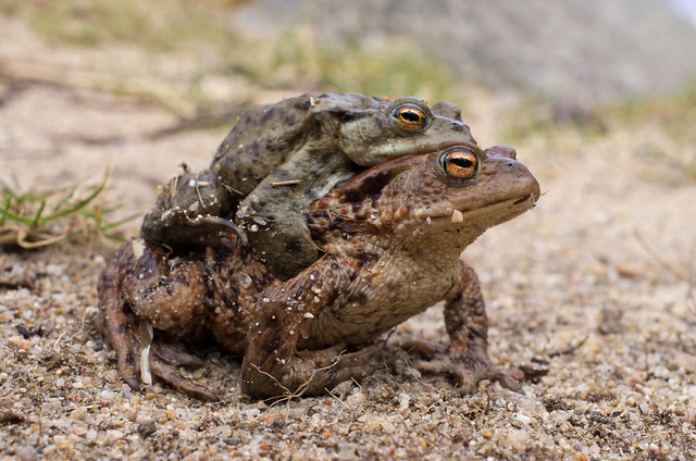 common toad pair 2