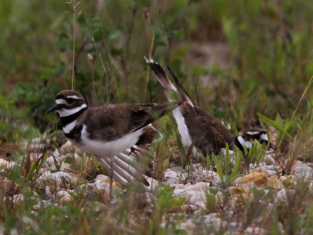 Killdeer courtship 20120601