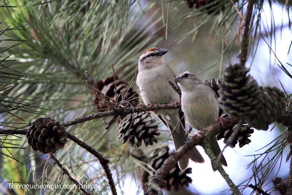 053012_02_bird_ChippingSparrow02