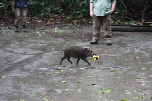 Triumphant bushpiglet steals a mango Photo by Holly Carroll