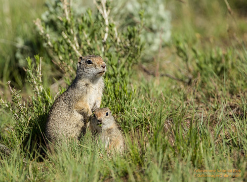 Uinta Ground Squirrel mom and baby by Mark/MPEG (Midwest Photography Enthusiasts Group)
