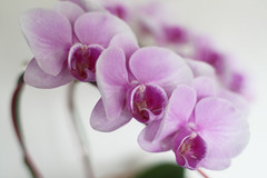 flower, purple, violet, plant, lilac, lavender, macro photography, phalaenopsis equestris, moth orchid, close-up, pink, petal,
