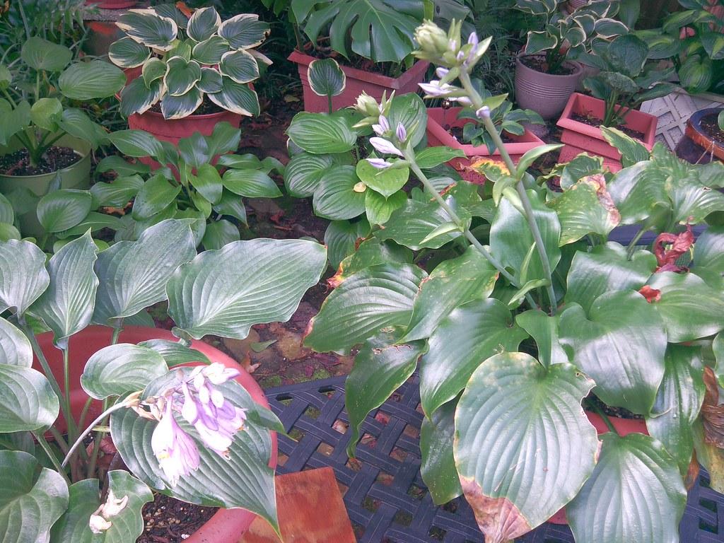 H. 'High Tide' and  'Lederhosen' blooming