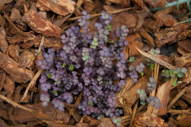 acaena purpurea  1771