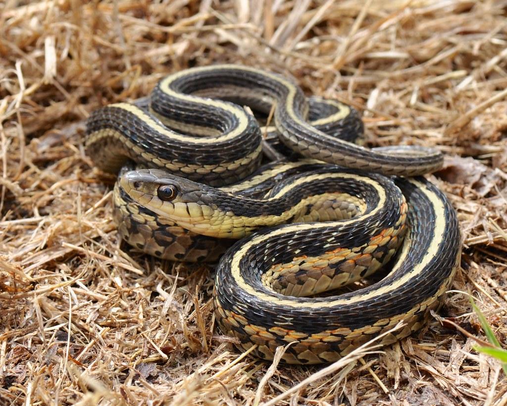 Garter Snake by mary11