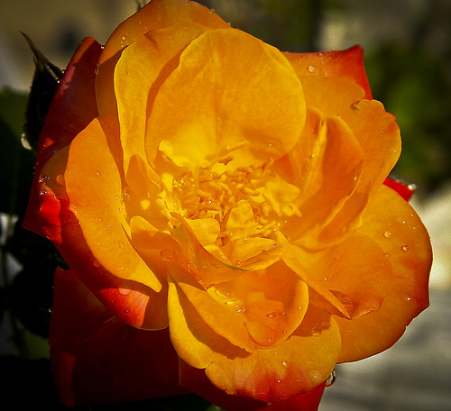 Orange Hybrid Rose by Ricky L. Jones Photography