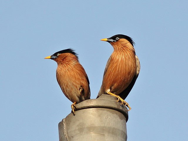 Brahminy Starling Pair