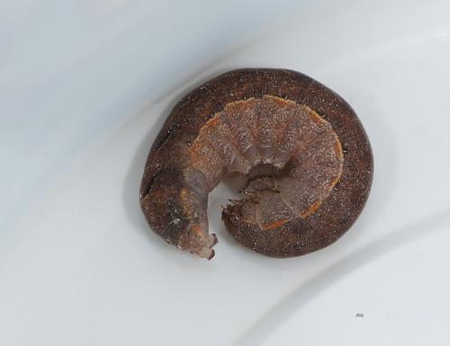 Cutworm Moth Xestia dolosa_1333