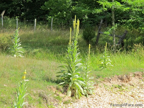 (10) The wild mullein is drought and heat tolerant - FarmgirlFare.com