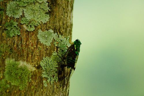 méxico cicada insect hidalgo huehuetla chicharrita
