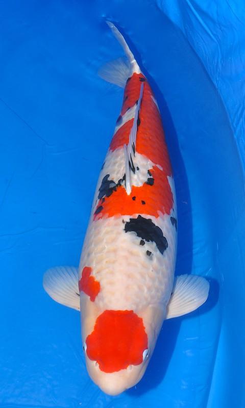 GC A swimming