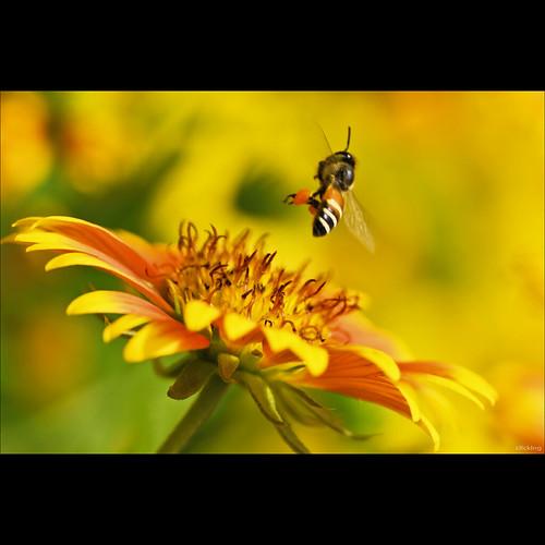 Con ong đã tỏ đường đi lối về... by -clicking-
