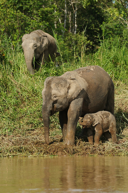 Borneo Pygmy Elephant (Elephas maximus) | Flickr - Photo ...