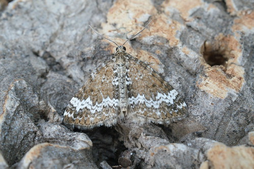 Small Rivulet (Perizoma alchemillata)
