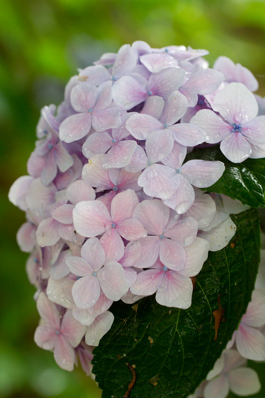 Hydrangea with Drips
