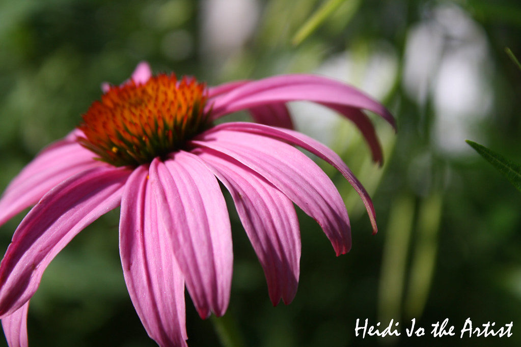 Purple Coneflower 4