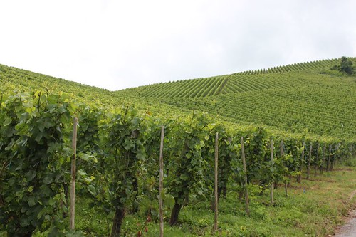 20120712_451_Moselle-vineyards