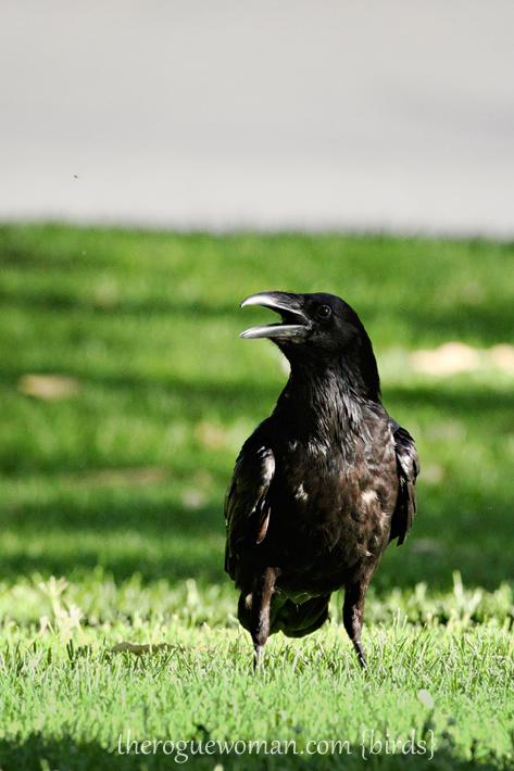 063012_bird_raven