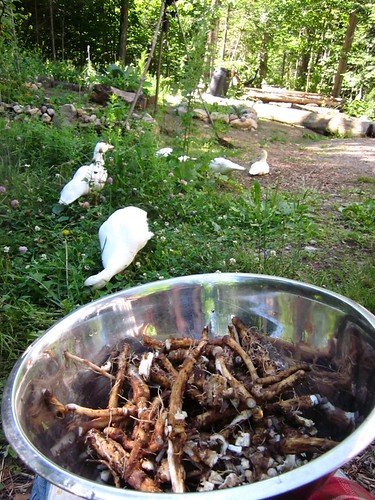 chicory root and ducks
