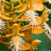 Platanthera ciliaris (Yellow fringed orchid) by jimf_29605