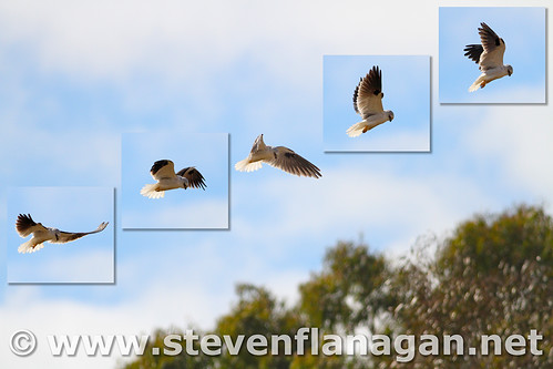 Black-Shouldered Kite (Hovering Sequence)