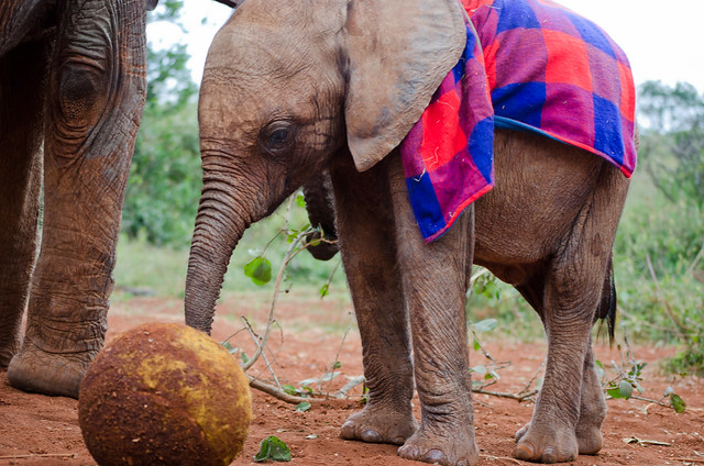 David Sheldrick Wildlife Trust Orphan Elephant Nursery