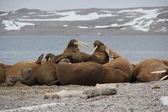 Walrus faisant du morse, Svalbard
